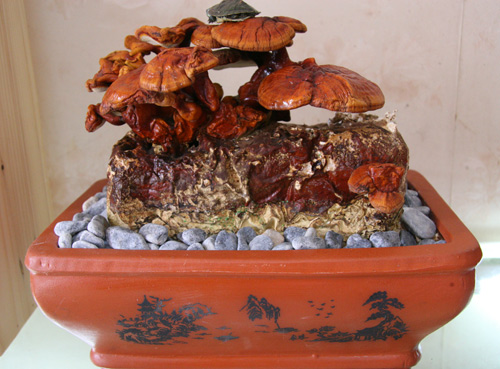 tet nay 'sot xinh xich' nam linh chi do bonsai - 1
