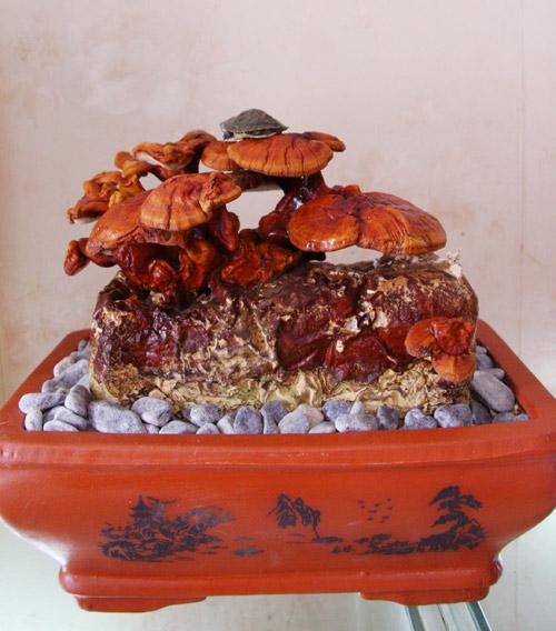 tet nay 'sot xinh xich' nam linh chi do bonsai - 7