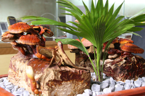 tet nay 'sot xinh xich' nam linh chi do bonsai - 2
