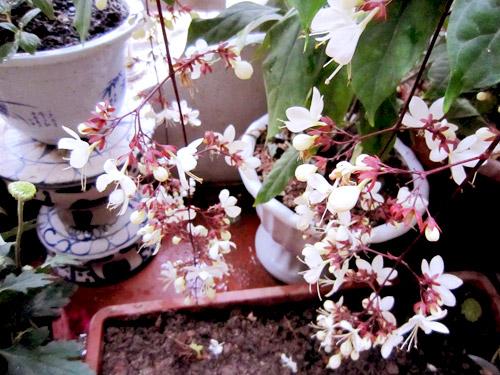 thai binh: vuon hoa tram chau khong can bi quyet cham trong - 7