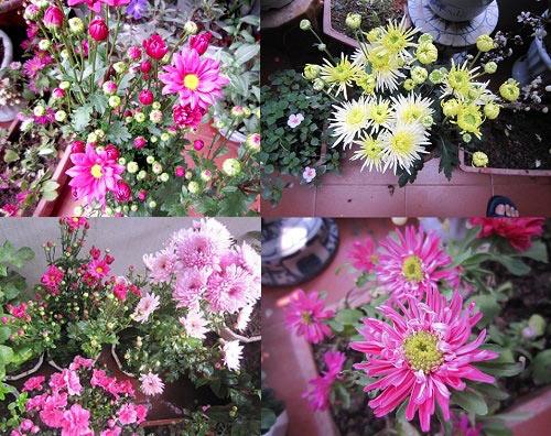 thai binh: vuon hoa tram chau khong can bi quyet cham trong - 5