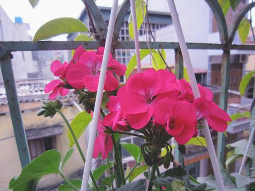 thai binh: vuon hoa tram chau khong can bi quyet cham trong - 9