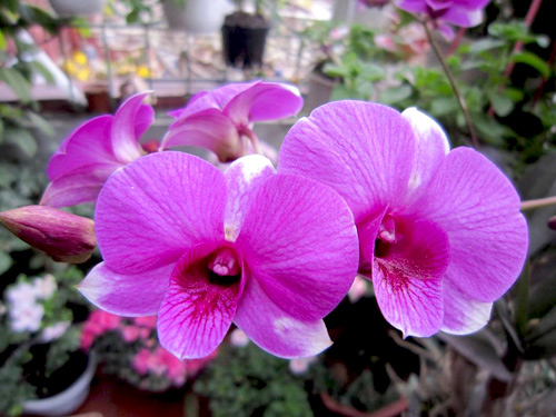 thai binh: vuon hoa tram chau khong can bi quyet cham trong - 3