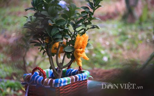 "phat thu bonsai dang ""ban tay chap"" cuc la gia hon chuc trieu - 7"