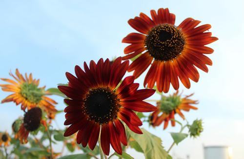Triệu phú của trăm cây hoa đẹp - độc - lạ ở Hà Nội - 6