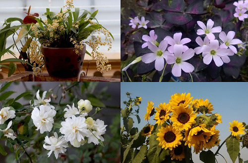 Triệu phú của trăm cây hoa đẹp - độc - lạ ở Hà Nội - 3