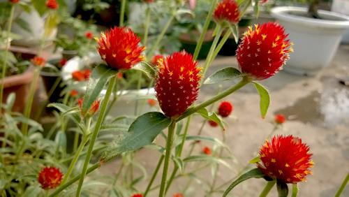 Triệu phú của trăm cây hoa đẹp - độc - lạ ở Hà Nội - 7