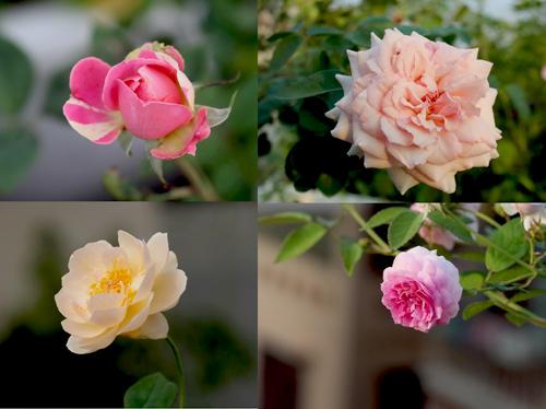 Triệu phú của trăm cây hoa đẹp - độc - lạ ở Hà Nội - 13