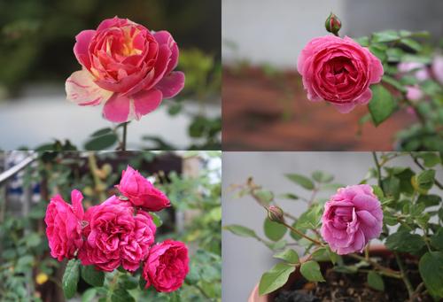 Triệu phú của trăm cây hoa đẹp - độc - lạ ở Hà Nội - 12