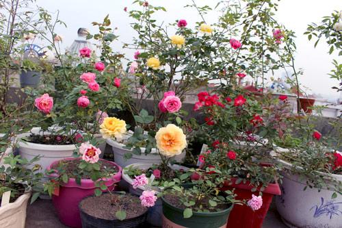 Triệu phú của trăm cây hoa đẹp - độc - lạ ở Hà Nội - 11