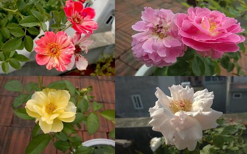 Triệu phú của trăm cây hoa đẹp - độc - lạ ở Hà Nội - 14