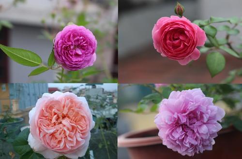 Triệu phú của trăm cây hoa đẹp - độc - lạ ở Hà Nội - 16