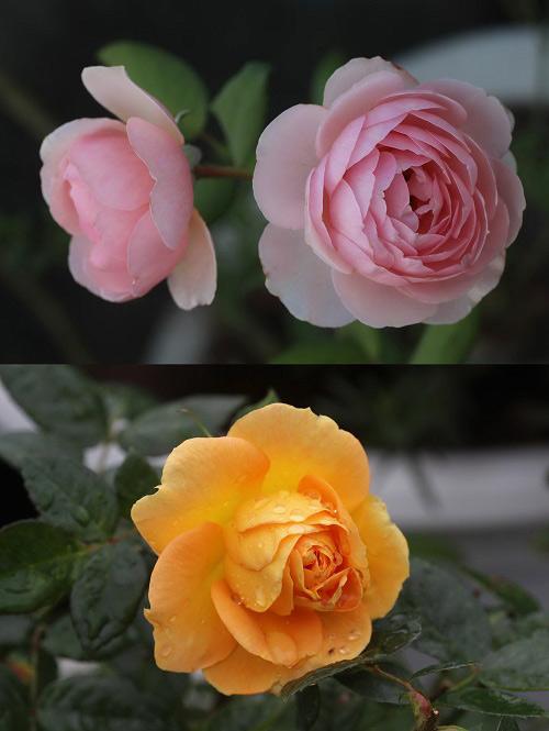 Triệu phú của trăm cây hoa đẹp - độc - lạ ở Hà Nội - 15