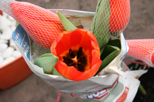 tulip viet gia 30 nghin hut nguoi mua - 2