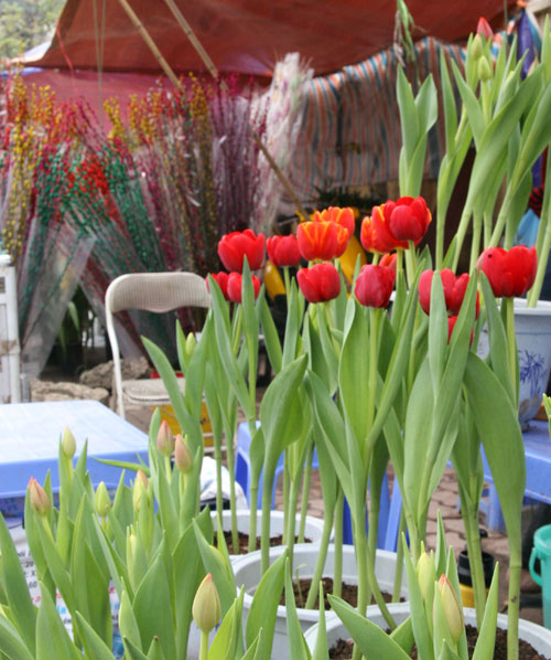 tulip viet gia 30 nghin hut nguoi mua - 1
