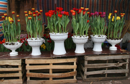 tulip viet gia 30 nghin hut nguoi mua - 6