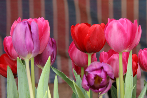 tulip viet gia 30 nghin hut nguoi mua - 11