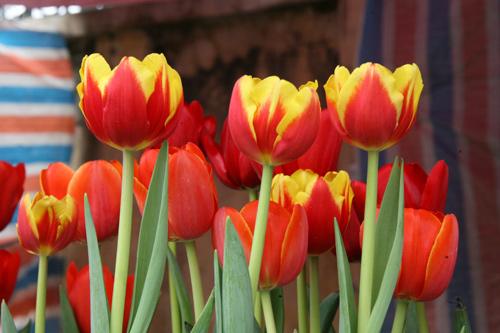 tulip viet gia 30 nghin hut nguoi mua - 10