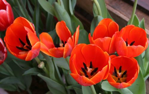 tulip viet gia 30 nghin hut nguoi mua - 12