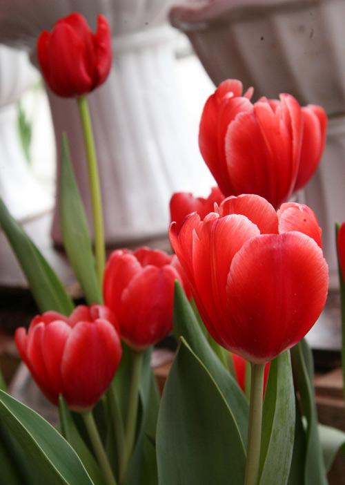 tulip viet gia 30 nghin hut nguoi mua - 9