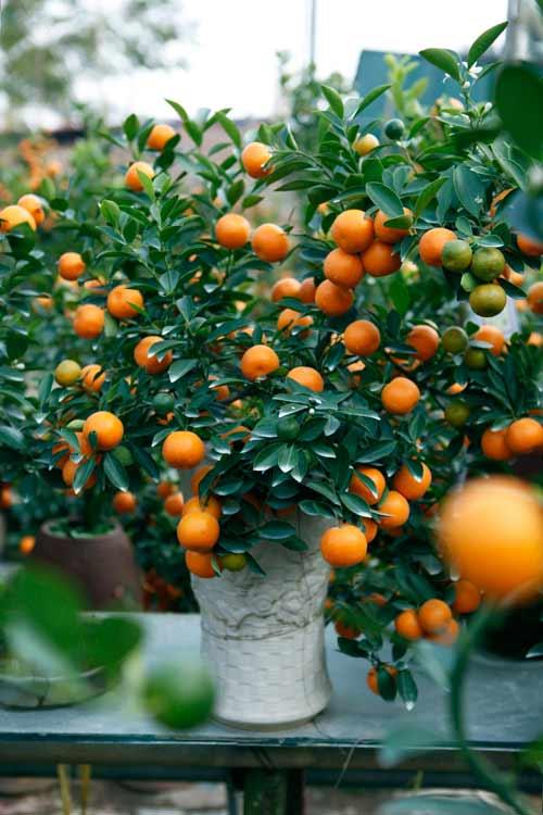 """diem mat"" nhung cay canh bonsai hut tien dip tet at mui - 6"