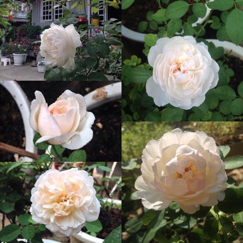 Vườn hồng đẹp như tranh của cô giáo Hà Giang-11