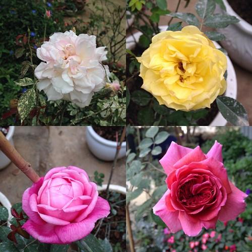 Vườn hồng đẹp như tranh của cô giáo Hà Giang-14