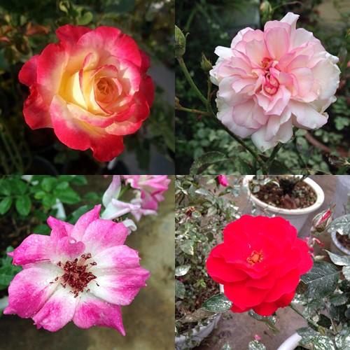 Vườn hồng đẹp như tranh của cô giáo Hà Giang-16