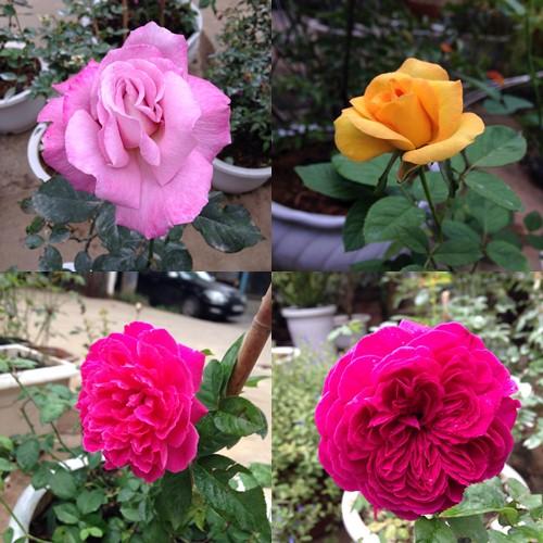 Vườn hồng đẹp như tranh của cô giáo Hà Giang-17