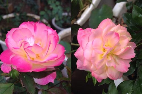 Vườn hồng đẹp như tranh của cô giáo Hà Giang-6