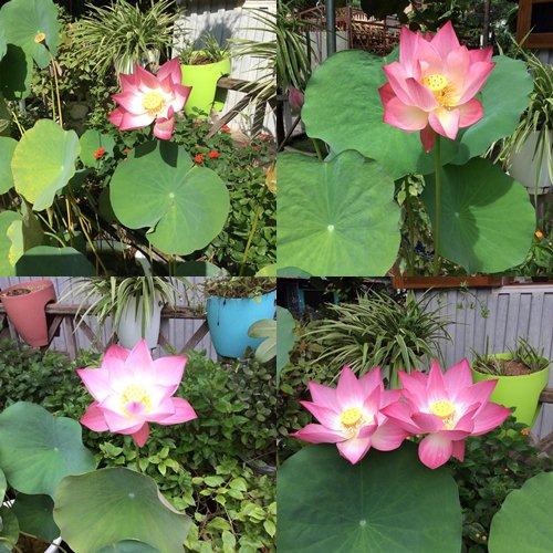 Vườn hồng đẹp như tranh của cô giáo Hà Giang - 27