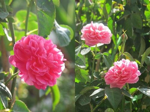 Vườn hồng đẹp như tranh của cô giáo Hà Giang-5