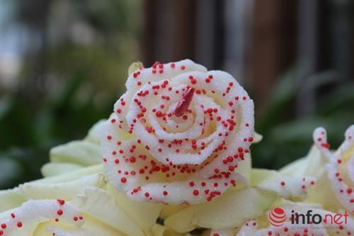 Hoa hồng phủ sôcôla – món quà độc đáo cho ngày 8/3-2