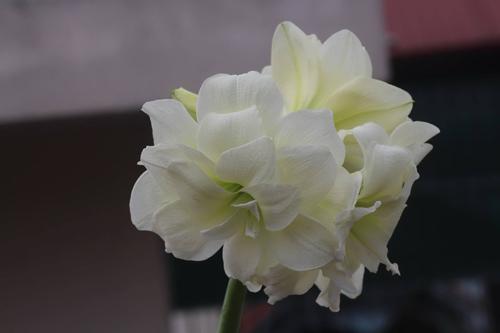 trong hoa lan hue thom ngat me ly - 3