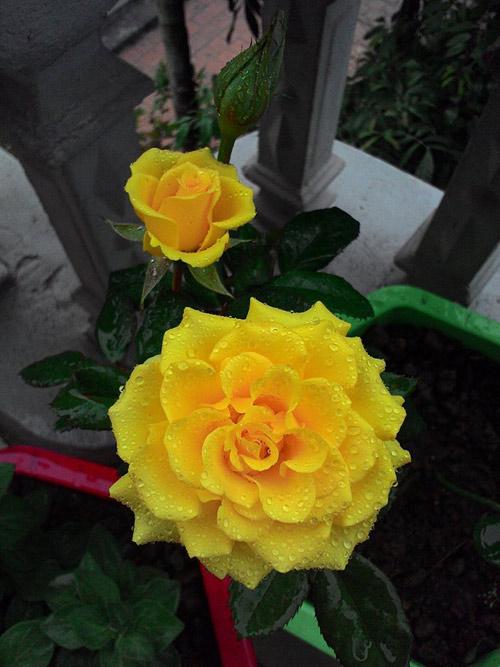 vuon hoa ban cong co gai nho trong tang me da khuat - 12