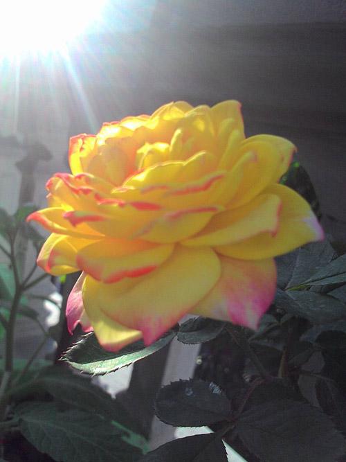 vuon hoa ban cong co gai nho trong tang me da khuat - 8