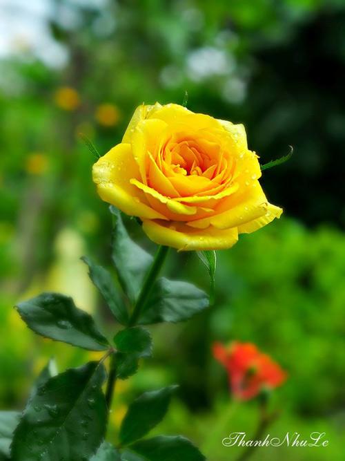 trong va cham soc hoa hong don gian ngay tai nha - 9