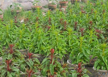 Người trồng hoa TP.HCM tất bật chuẩn bị cho Tết Nguyên đán-4