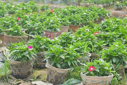 Người trồng hoa TP.HCM tất bật chuẩn bị cho Tết Nguyên đán-6