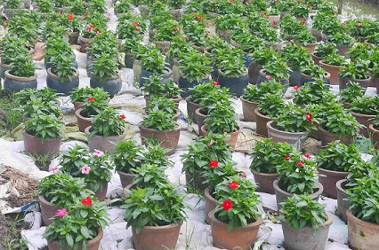 Người trồng hoa TP.HCM tất bật chuẩn bị cho Tết Nguyên đán-7