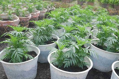 Người trồng hoa TP.HCM tất bật chuẩn bị cho Tết Nguyên đán-11