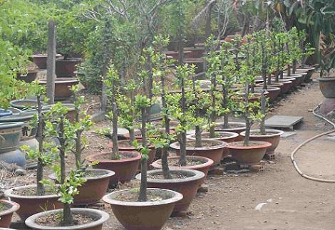 Người trồng hoa TP.HCM tất bật chuẩn bị cho Tết Nguyên đán-14
