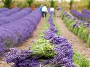 Cây cảnh - Vườn - Nhìn ngắm thung lũng hoa oải hương đẹp tựa thiên đường