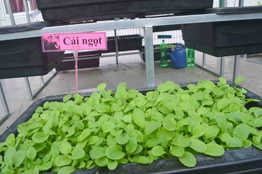Bé trường tiểu học trồng rau sạch bán cho phụ huynh-9