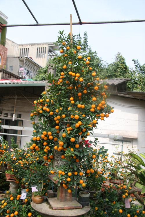 dan sanh choi dua nhau san quat bonsai rong phuong - 2