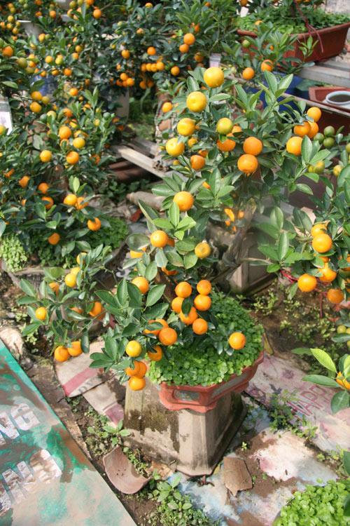 dan sanh choi dua nhau san quat bonsai rong phuong - 12
