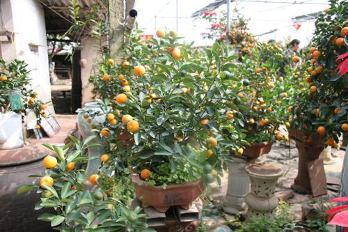 dan sanh choi dua nhau san quat bonsai rong phuong - 7