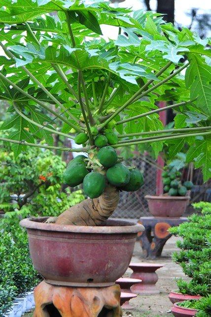 "du du bonsai ""dem qua ra tien"" hut khach dip tet - 10"