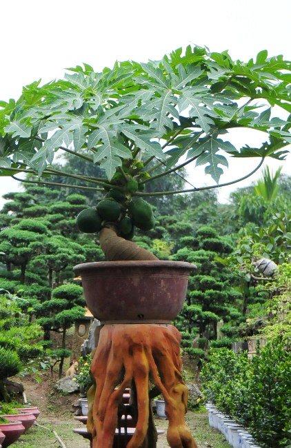 "du du bonsai ""dem qua ra tien"" hut khach dip tet - 2"