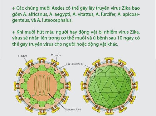 [infographic] nhung dieu nguoi viet phai biet ve virus 'an nao' zika - 4